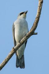 White-bellied Cuckoo-shrike (Janis May) Tags: eastpoint northernterritory whitebelliedcuckooshrike