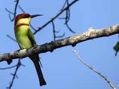 Bee-eater Chestnut-headed _1070931a (wagtail2006) Tags: srilanka chestnutheadedbeeeater fz330