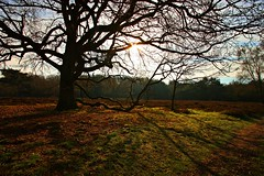 The tree on heather ground (M a u r i c e) Tags: sunlight tree nature netherlands shadows heather branches wideangle loos loosdrecht efs1022mm