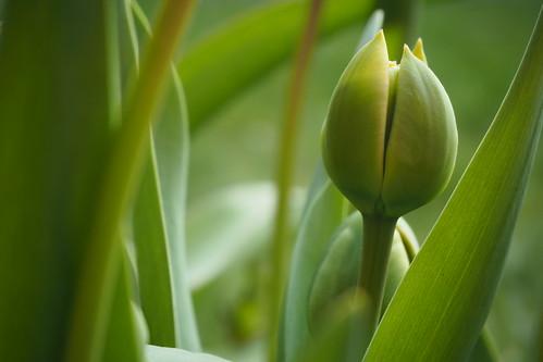 Tulpenknop
