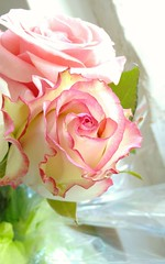 Beautiful rose (-Morgane-) Tags: pink flowers roses nature beautiful photography petals pretty bright softtones pastelcolours mobilephotography