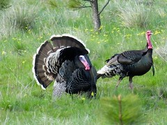 DSCF4878 (Stacy Lackie) Tags: flowers trees nature beautiful outdoors washington spring wildlife mating iridescence strutting wildturkeys fujifilmfinepix