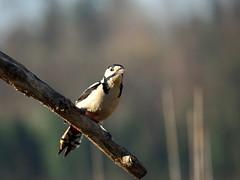 Picchio rosso.. (quarzonero ...Aldo A...) Tags: bird nature coth picchiorosso redwoodpecker valdenza sunrays5