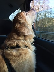 (psiortal.pl) Tags: dog dogs window car goldenretriever pies sniff psy okno samochd psiortal