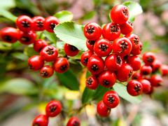 Roter Feuerdorn (romain_joly) Tags: rot germany essen pflanze beeren beere frucht garten strauch pyracantha früchte rosales fokus blühen feuerdorn pyrinae rosengewächs kernobstgewächse