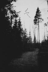 film(ish) (Nooa Haapsaari) Tags: summer sky bw plant hot tree bird fall film nature monochrome beautiful grass birds forest canon espoo suomi finland lens relax photography grey photo spring track photographer bokeh noon puu bnw luonto haapsaari naturewatcher vsco vscofilm