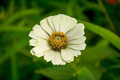 White Zinnia (malc1702) Tags: flowers plants macro nature beauty closeup garden outdoors greenery zinnia whitezinnia nikond7100 nikkor18140mm