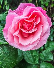 big pinky (pbo31) Tags: california pink flower color macro green nature wet rain rose garden season drops bush flora unitedstates bayarea bloom april eastbay livermore alamedacounty blooming 2016 boury pbo31 iphone6plus