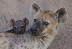 Hyena with a pup (little_duckie) Tags: africa southafrica buffalo zebra cheetah giraffe impala hyena rhinoceros krugernationalpark kruger gamedrive kudu bushbuck