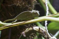 Freya-1 (marlin_666) Tags: veiled adult yemen chameleon chamäleon jungtier calyptratus jemen chamaeleo