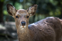 Gimme a deer cracker! (GLVF) Tags: portrait face animal japan closeup temple japanese site dof bokeh buddha buddhist religion great buddhism depthoffield deer holy temples kawaii sacred nara animaux kansai japon sacr tte japonais daim nanto shichi daiji  narashi