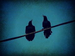 LOL (Shelby's Trail) Tags: blue black birds laughing lol  birdsofafeather hss sliderssunday