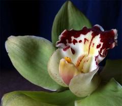 Intimacy-3 (gomosh2) Tags: orchid flowermacro