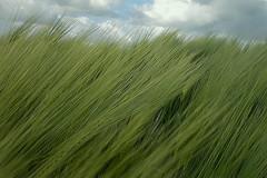 Muoversi nel vento (Zz manipulation) Tags: art natura campagna vento grano nubi ambrosioni zzmanipulation