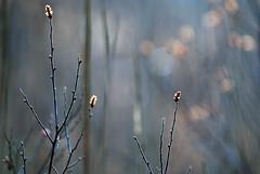 Smtrr blant siv (Kristin Bruun) Tags: flowers trees photo spring foto april vr siv trr nesodden