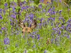 Hideaway (oxfordwight) Tags: wild deer roe oxon blubells