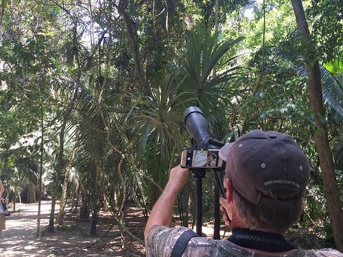 Digiscoping Howler Monkeys - Lamanai Maya site, Orange Walk, BZ - Mar 24, 2016