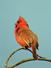 20160428-03 IMG_2107 Cardinal - Pose 3 (rcboehme) Tags: birds cardinal