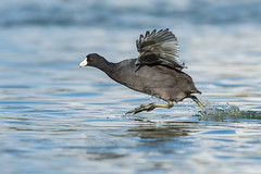 Splashy Sprinter (PeterBrannon) Tags: bird nature water closeup florida wildlife waterfowl americancoot fulicaamericana runningonwater blackduckwithredeye