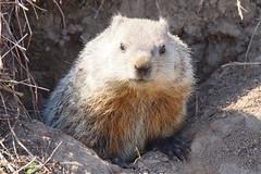 Groundhog (Eric E Haas) Tags: usa unitedstates maryland woodchuck groundhog rodents havredegrace whistlepig marmotamonax tamron150600mm