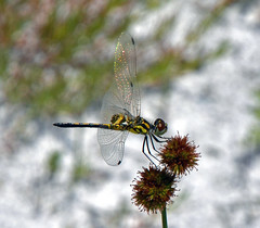 Tiny Lady, Only 34mm; Ornate Pennant (Stan in FL) Tags: nature nikon unitedstates florida dragonflies dragonfly wildlife tamron inverness odonata fortcooperstatepark