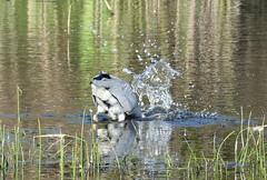 Looking for supper (3) (robbie20161) Tags: water birds animals wales reeds countryside wetlands ardeacinerea cardigan greyheron