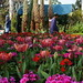 Tulips at Egypt's Flowers show