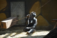 We've all got both light and dark inside us. What matters is the part we choose to act on. That's who we really are. (Pics4life.nl) Tags: light dark de zoo licht wanda gorilla van act aap dierentuin caved karakter gevangenschap bovenkamp d5200