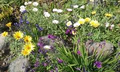 (sftrajan) Tags: flowers berkeley jardimbotnico wildflowers botanicalgarden jardinbotanico jardinbotanique botanischergarten botaniskhave botanischetuin ogrdbotaniczny universityofcaliforniabotanicalgarden southafricanplants universityofcaliforniabotanicgarden southernafricagarden