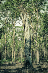 IMG_6937 (gaujourfrancoise) Tags: nt australia downunder northernterritory australie kakadunationalpark deadtrees arbresmorts gaujour