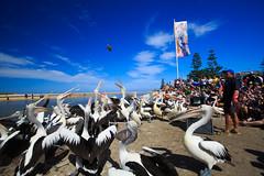 LR-160316-041.jpg (Finert) Tags: theentrance friendlyflickr pelicanfeeding 160316