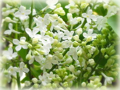 White lilac (Stella VM) Tags: flowers white nature beautiful garden spring lilac