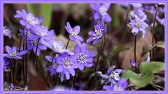 In my garden: Blue anemones (K. Haagestad) Tags: blue petals spring anemones springflowers stalks blåveis stemens