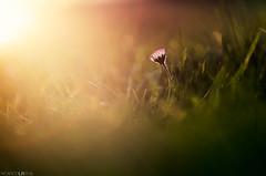 Ecstasy (Photographordie) Tags: light atardecer glow 14 85mm olympus daisy margarita rokinon samyang85mm rokinon85mm epm2 olympuspenepm2 olympusepm2 samyangasphericalif85mmf14