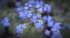 Brunnera Flowers (HenryLouiePhotography) Tags: blue plant flower garden jackfrost brunnera