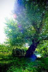 aprs-midi de printemps (Philippe Gillotte) Tags: light sun tree green soleil spring lumire vert foliage flare arbre printemps feuillage