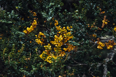 (a-e-m-e) Tags: autumn mountain lake plant colour nature water field leaves landscape nikon berries outdoor australia foliage mount tasmania beech fagus pandani nikond600