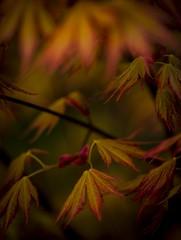 Spring Acer (chris watkins wales) Tags: macro tree wales spring time north acer snowdonia