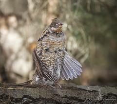Ruffed Grouse (Turk Images) Tags: birds spring grouse alberta ruffedgrouse phasianidae breedingseason redphase bonasaumbellus mixedwoods thorhild aspenparkland rugr drumminglog