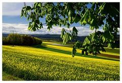 20160424-164536 (lichtschattenjaeger) Tags: yellow landscape gold diesel bio eifel gelb raps biodiesel vulkan getreide gerste weizen benzin hafer biosprit