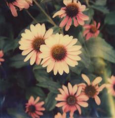 Echinacea (Kim Smith-Miller) Tags: flowers polaroid echinacea pdx portlandor cornflower instantfilm polaroidweek natureandshit impossibleproject mintslr670m minttimemachine roidweek2016 tipgen2