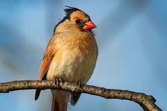 MamaDontDance (jmishefske) Tags: park nature wisconsin female franklin nikon cardinal may center milwaukee wehr 2016 whitnall d800e