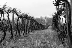Vineyard Grapevines of the Midwest (twinkleinmyeye) Tags: abstract art monochrome rural canon mono vanishingpoint vineyard vines midwest wine farm perspective vine twist farmland winery rows grapes twisted photoart grapevine grapevines columbusindiana grapefarm simmonswinery 450northbrewery