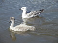 Seagull and cygnet cruising together (niknak2016) Tags: birds seagull cygnet
