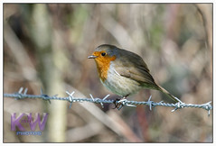 Bird on a wire (kishwphotos) Tags: city bird london nature robin landscape woods wildlife naturalhistory geology forests naturalworld osterley copse faunaandflora smallbird
