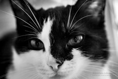 Black and White in Black and White (Lihoman...) Tags: portrait blackandwhite bw pet white black macro blanco monochrome animal animals sepia cat blackwhite kitten noir bokeh negro siberian boke weiss bianco blanc nero schwarz                 blackwhitephotos                lihoman