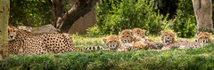 Mom and the Kids (helenehoffman) Tags: africa baby nature animal mammal feline babies wildlife bigcat cheetah cubs sandiegozoo safaripark carnivore acinonyxjubatus felidae conservationstatusvulnerable