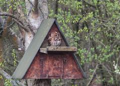 Tawny owl : Strix Aluco (Jerry Hawker) Tags: bird somerset avalon rspb somersetlevels hamwall rspbhamwall