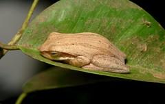 Tree Frog (Rhacophoridae) (John Horstman (itchydogimages, SINOBUG)) Tags: china topf25 animal amphibian frog yunnan herpetology rhacophoridae itchydogimages