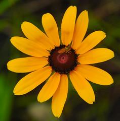 Black-Eyed Susan (Rudbeckia hirta) (wackybadger) Tags: flower minnesota yellow nikon blackeyedsusan rudbeckiahirta nikond60 dodgecounty nikon105mmf28gafsmacro11vr ironhorseprairiesna minnesotascientificnaturalarea